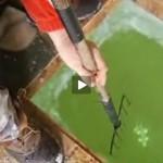 La pêche au trident est permise dans les états du Michigan et du Minnesota.
