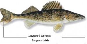 La longueur totale d'une doré jaune doit être comprise entre 37 et 53 cm pour que le poisson puisse être conservé pour consommation.