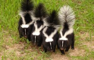 Un petit 2 heures de pêche le soir c'est difficile d'éviter les skunks...